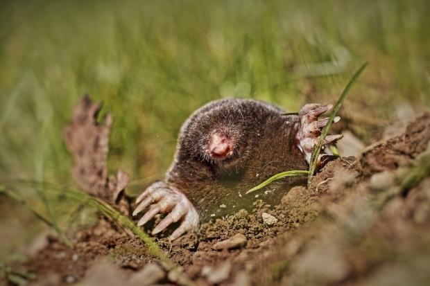 Mol Bestrijden Tuin : Mollen verjagen op een natuurvriendelijke manier flinke klus